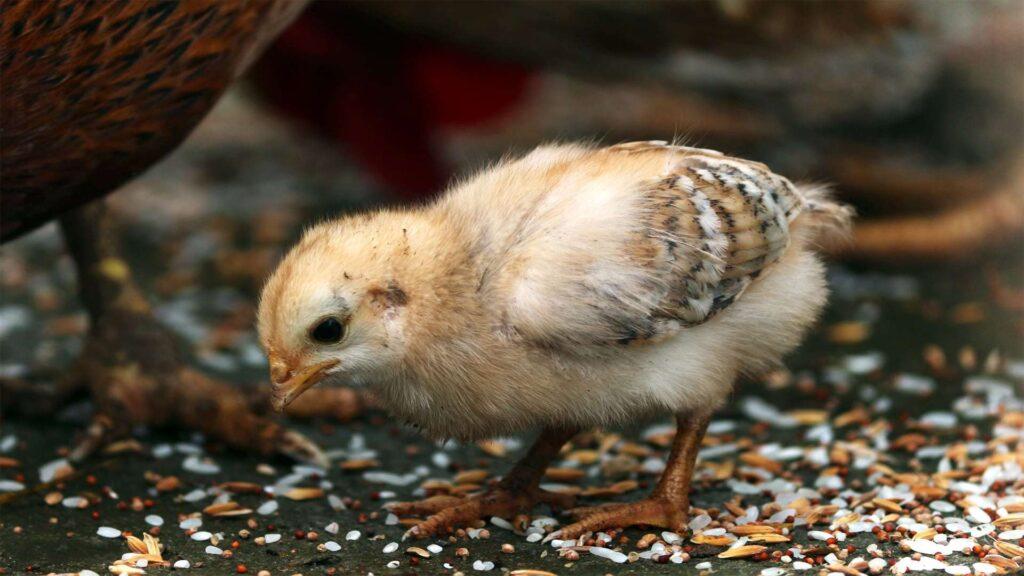 Chick image